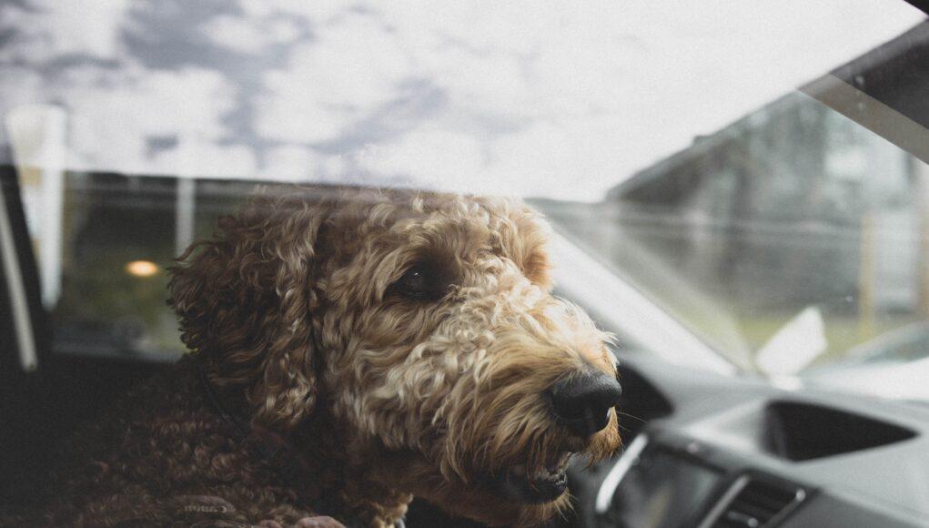 sierść psa w samochodzie